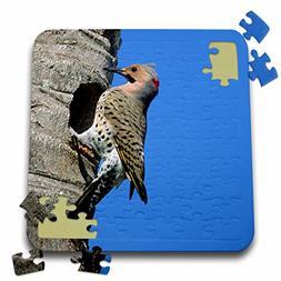 Danita Delimont - Bird - Northern Flicker male at nest cavit