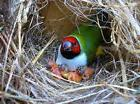 Exotic Finch & Canary nesting material with feathers 2 one g